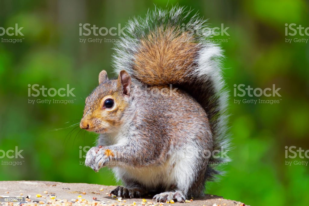 Grey Squirrel on a woodland feeding table eating. stock photo