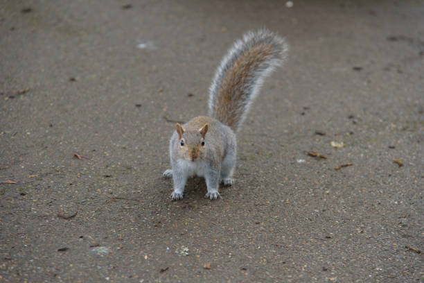 Grey Squirrel on the ground looking stock photo