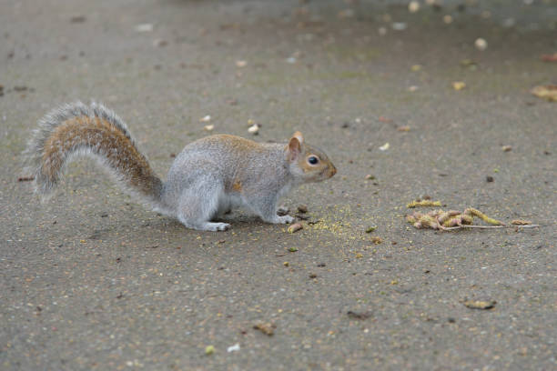 Grey Squirrel on the ground stock photo