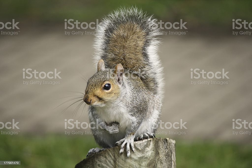 Grey Squirrel perched on log stock photo