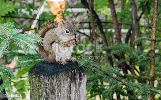 A grey squirrel perched upon a wooden post, clutching a nut in his claws, in Denali National Park and Preserve in Alaska, USA in summertime.