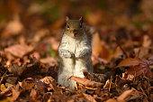 istock A Grey Squirrel 1288066181