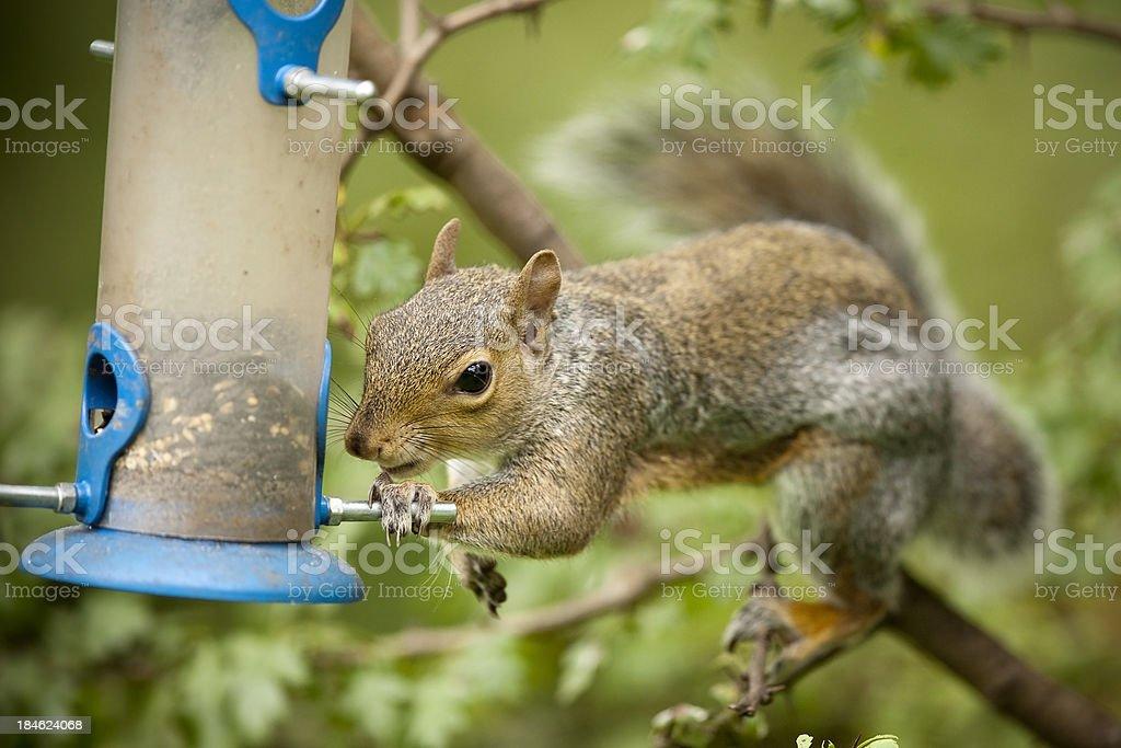 Grey Squirrel (Sciurus carolinensis) stock photo