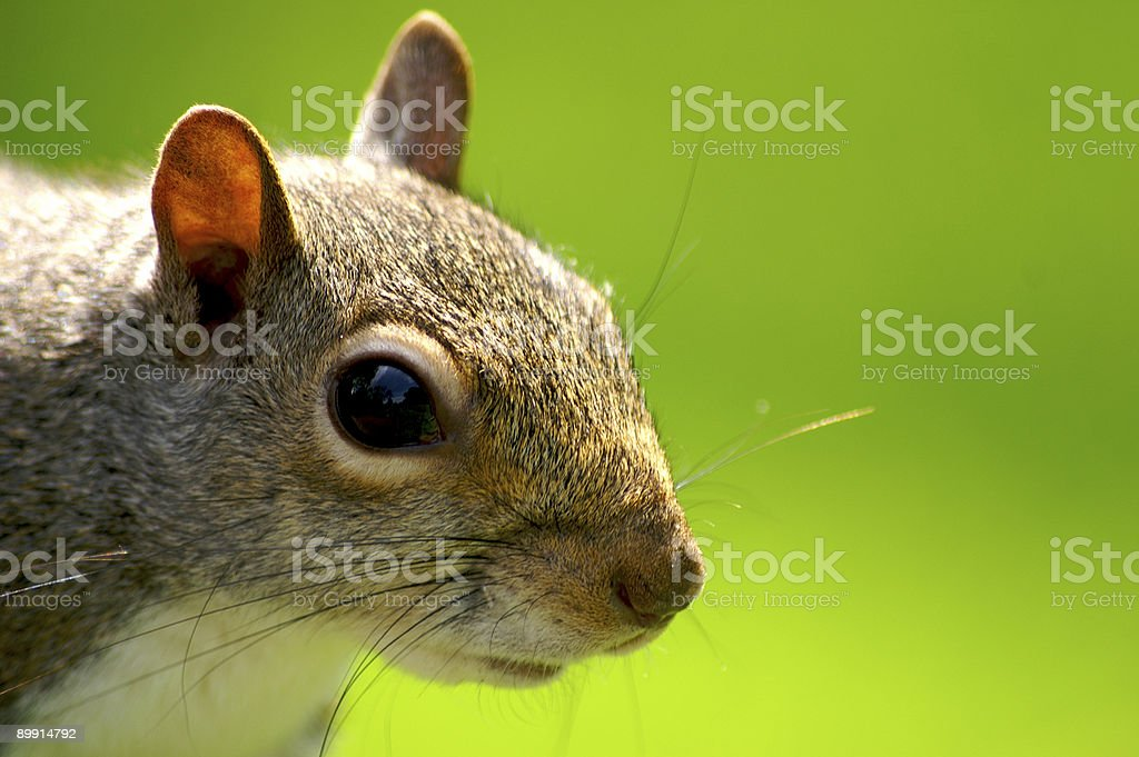 Grey Squirrel royalty-free stock photo