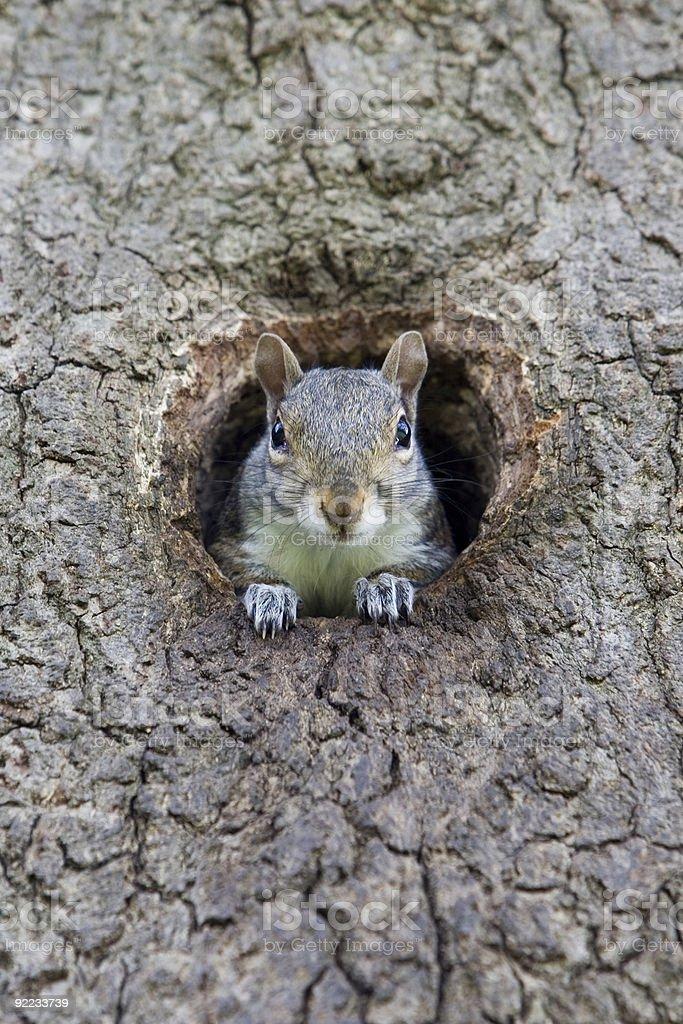 Grey Squirrel (Sciurus caroliniensis ) stock photo