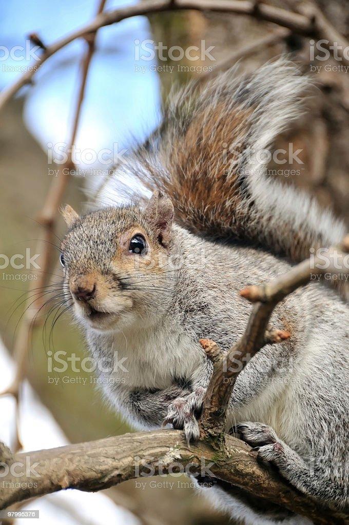 Grey Squirrel royalty-free stock photo