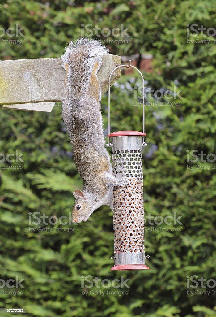 Grey Squirrel raiding a bird peanut feeder royalty-free stock photo