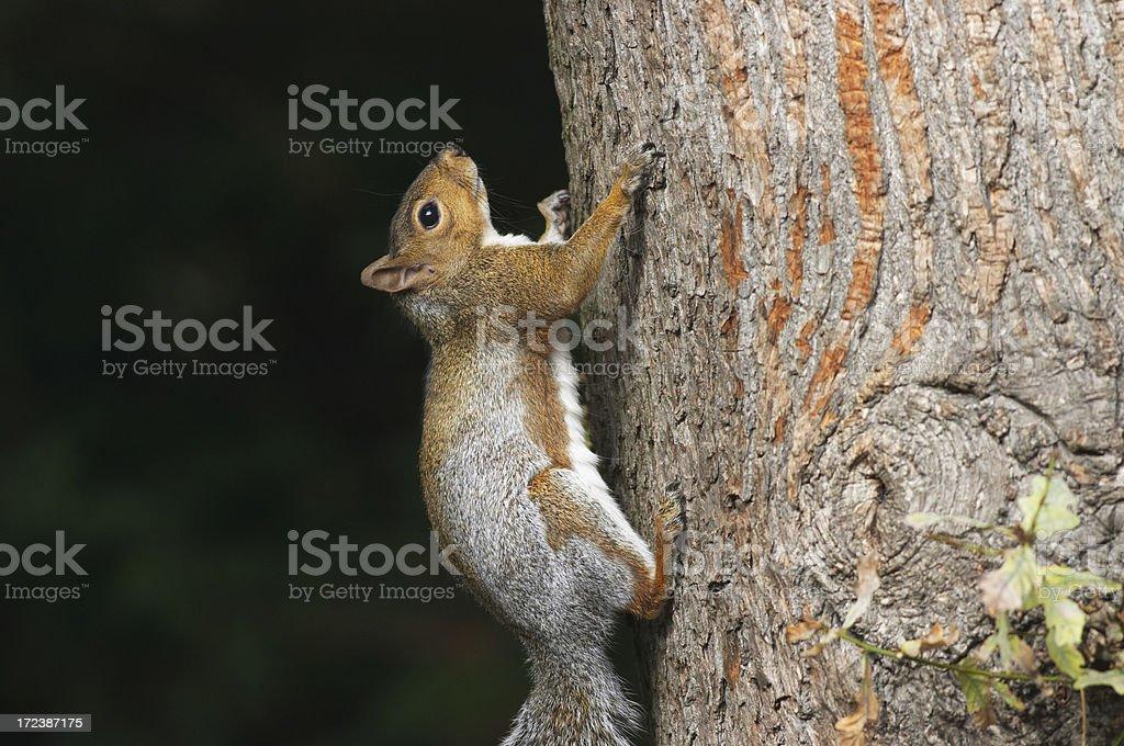 Grey squirrel Sciurus carolinensis still moment for vertical climber stock photo