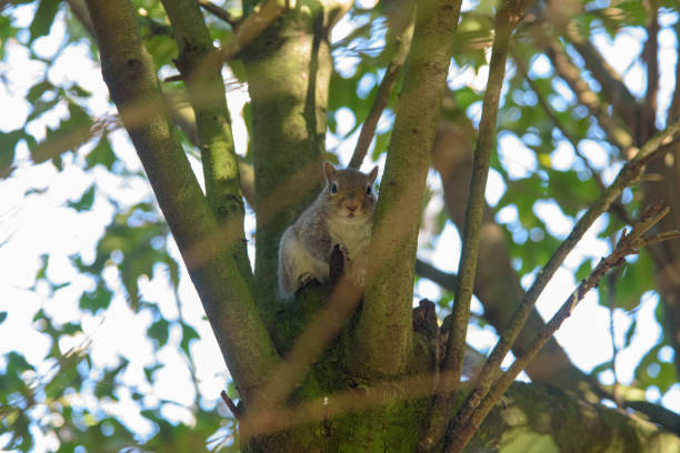 Grey Squirrel sitting in a tree and looking stock photo