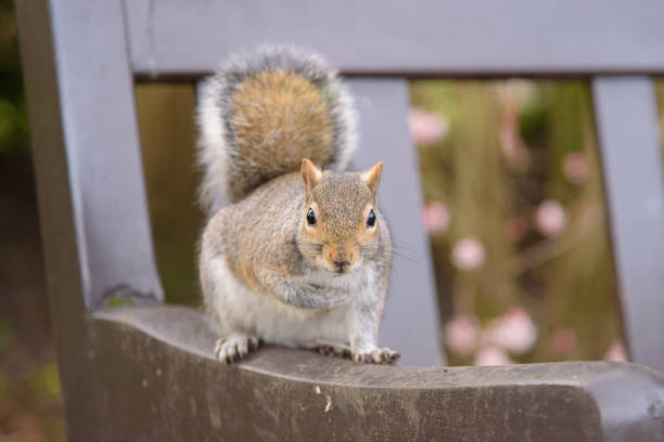 Grey Squirrel sitting on a park bench and looking at camera stock photo