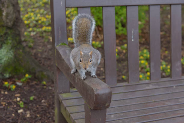 Grey Squirrel sitting on a park bench and looking stock photo