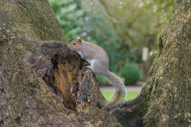 Grey Squirrel sitting on tree and looking stock photo