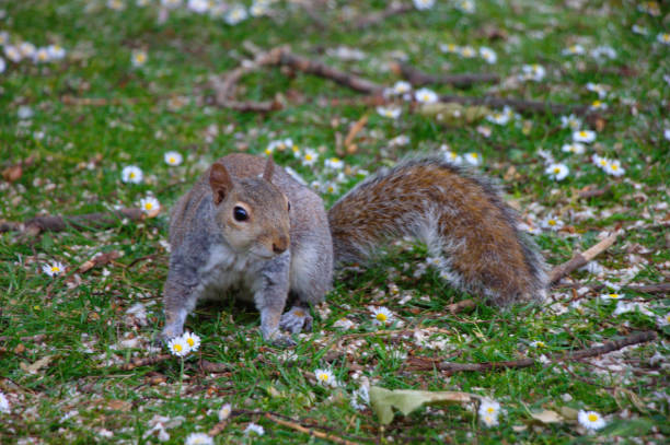 Grey squirrel standing on a lawn with daisies. stock photo