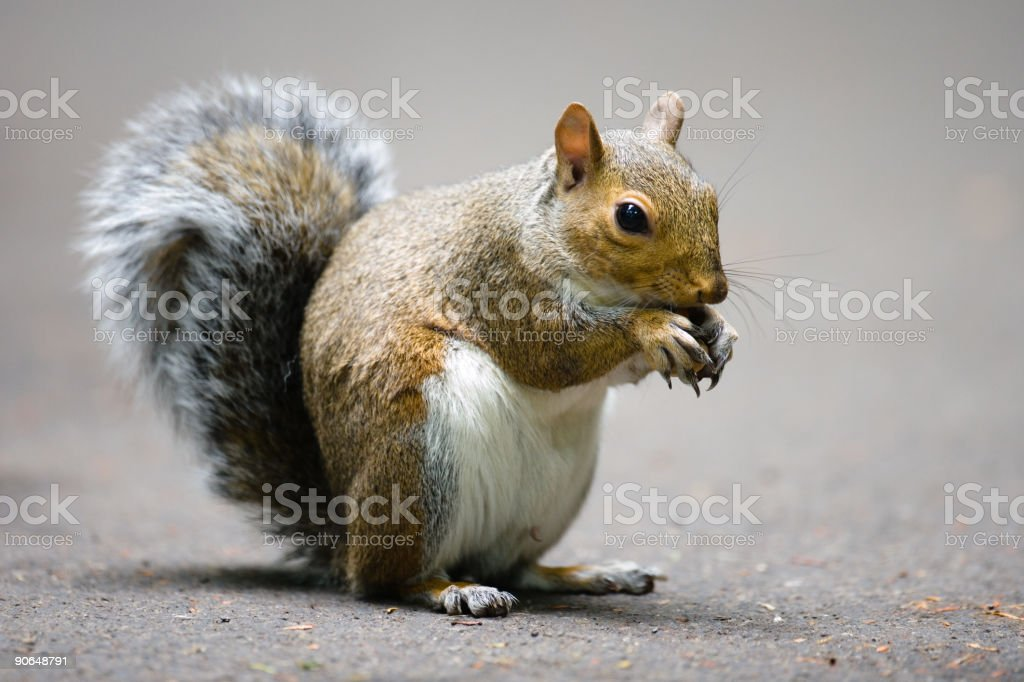 Grey Squirrel - Very High Resolution royalty-free stock photo