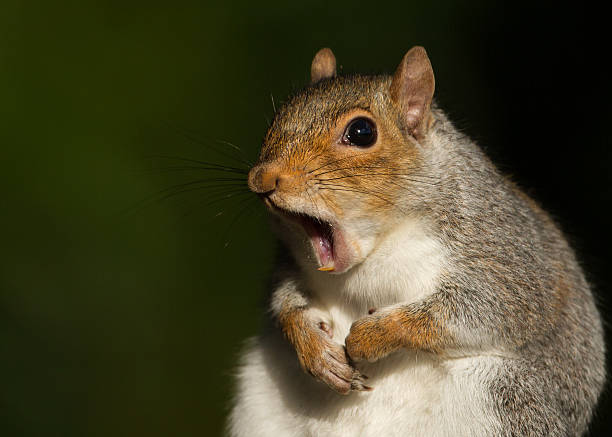 grey squirrel yawning - forest animals stock photos and pictures