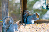 2019 Grey Squirrels on a feeding table in the UK