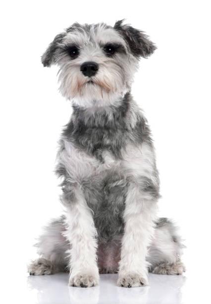 Grey standard schnauzer puppy sitting in front of a white background picture id981530900?b=1&k=6&m=981530900&s=612x612&w=0&h=emrugotomvzmdpkehfwfrdl0ykdxa1qor0zur2enyv8=