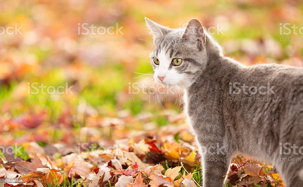 Grey striped tabby cat in autumn leaves outdoors looking away stock photo