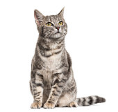 istock Grey stripped mixed-breed cat sitting, isolated on white 1217828258