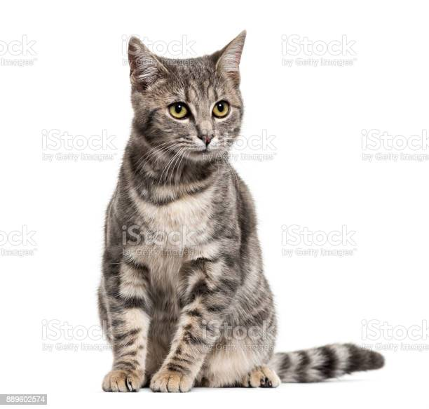 Grey stripped mixedbreed cat sitting isolated on white picture id889602574?b=1&k=6&m=889602574&s=612x612&h=oux5uu2xu7bpbsfi0gsm katc9 82vrczbp6dtqu5w0=