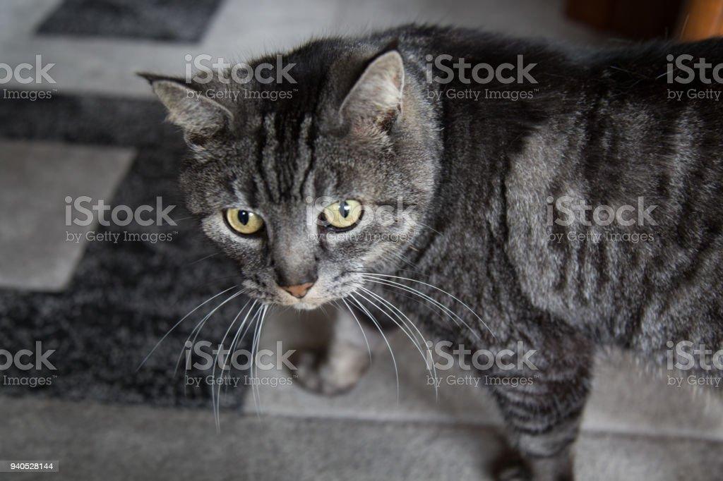 Grey tabbed cute cat portrait stock photo