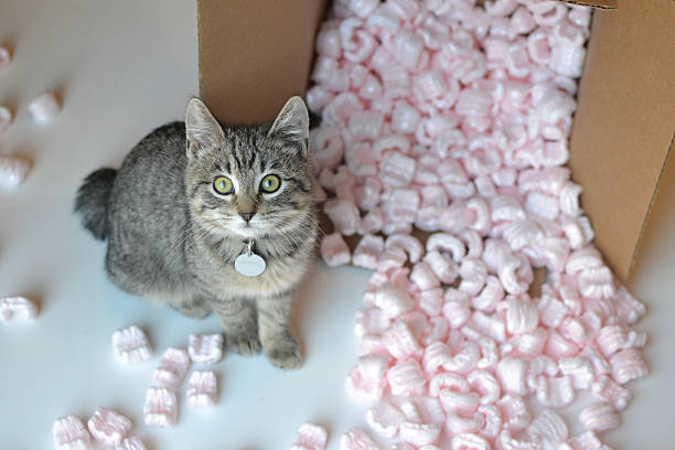 Grey tabby cat and moving box stock photo