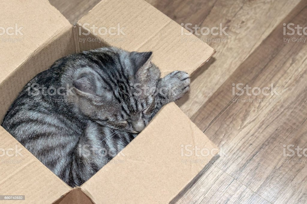 Grey tabby cat sleeps in a small box, the concept of a home for the animals. stock photo