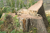 Grey tabby feral cat sleeping on stump