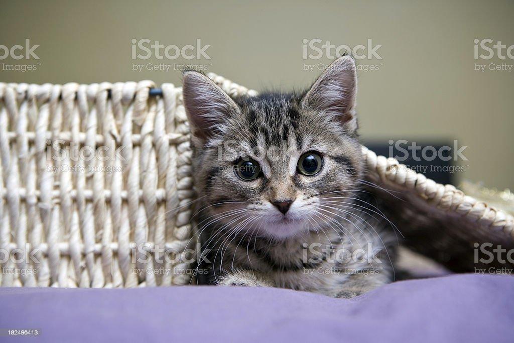 grey tabby kitten playing stock photo