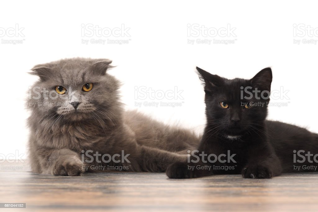 Grey thoroughbred cat and black kitten together royalty-free stock photo