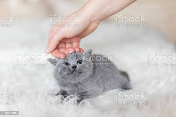 Grey tiny kitten stroked by a womans hand picture id916533346?b=1&k=6&m=916533346&s=612x612&h=oh6f5rarj913n kqzy32uyzjlk4oat2nhrvymfoy4xi=