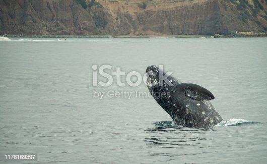 Grey whale breaching off Dana point