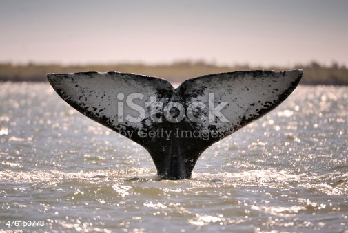fluke of a grey whale at baja california sur