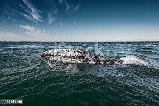 Gray whale (Eschrichtius robustus) surfacing  at Guerrero Negro in the Sea of Cortés, Baja California