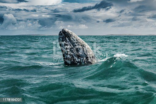 Gray whale (Eschrichtius robustus) surfacing  at Guerrero Negro in the Sea of Cortés, Baja California
