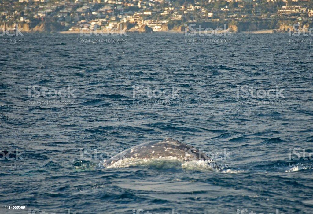 Grey whale swimming past Dana Point stock photo