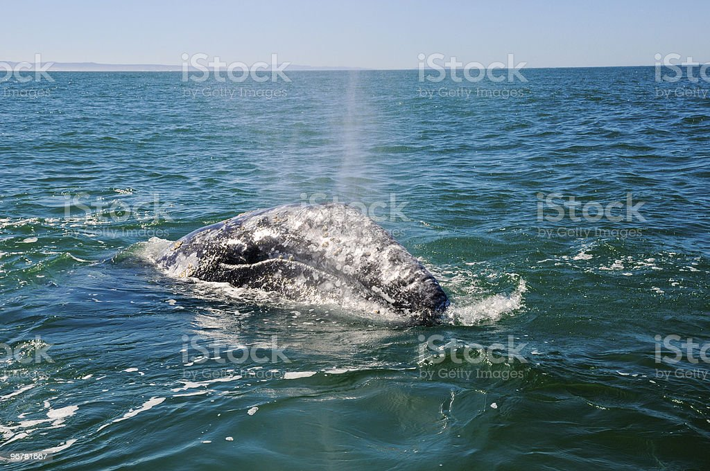 grey whale whatching stock photo