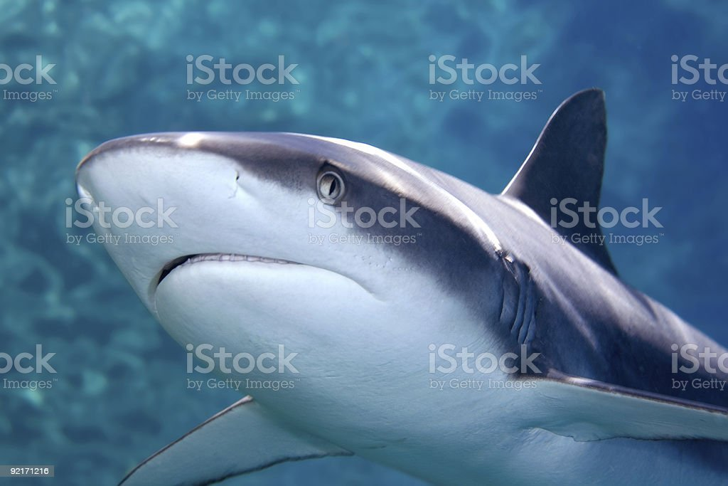 Grey whaler Shark stock photo
