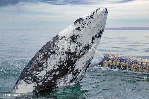 Gray whales (Eschrichtius robustus) surfacing at San Ignacio Lagoon in the Sea of Cortés, Baja California
