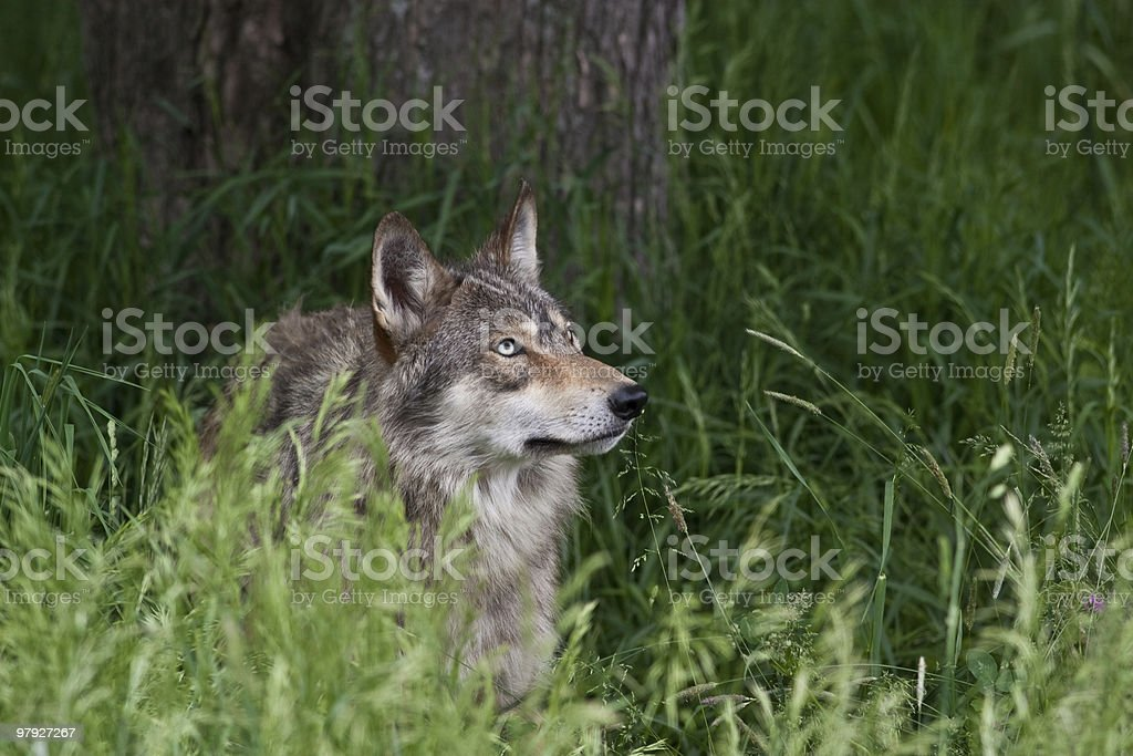 Grey Wold in Tall Grass royalty-free stock photo