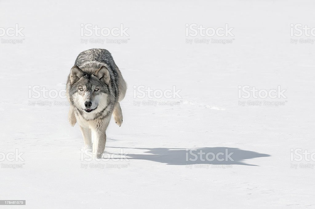 Grey Wolf (Canis lupus) Bounds Through Snow Towards Viewer stock photo