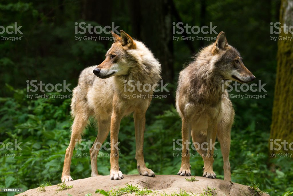 Grey Wolf (Canis lupus stock photo