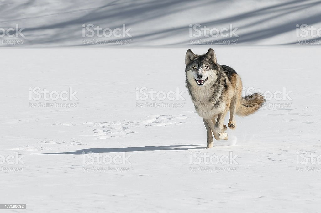 Grey Wolf (Canis lupus) Comes Running stock photo