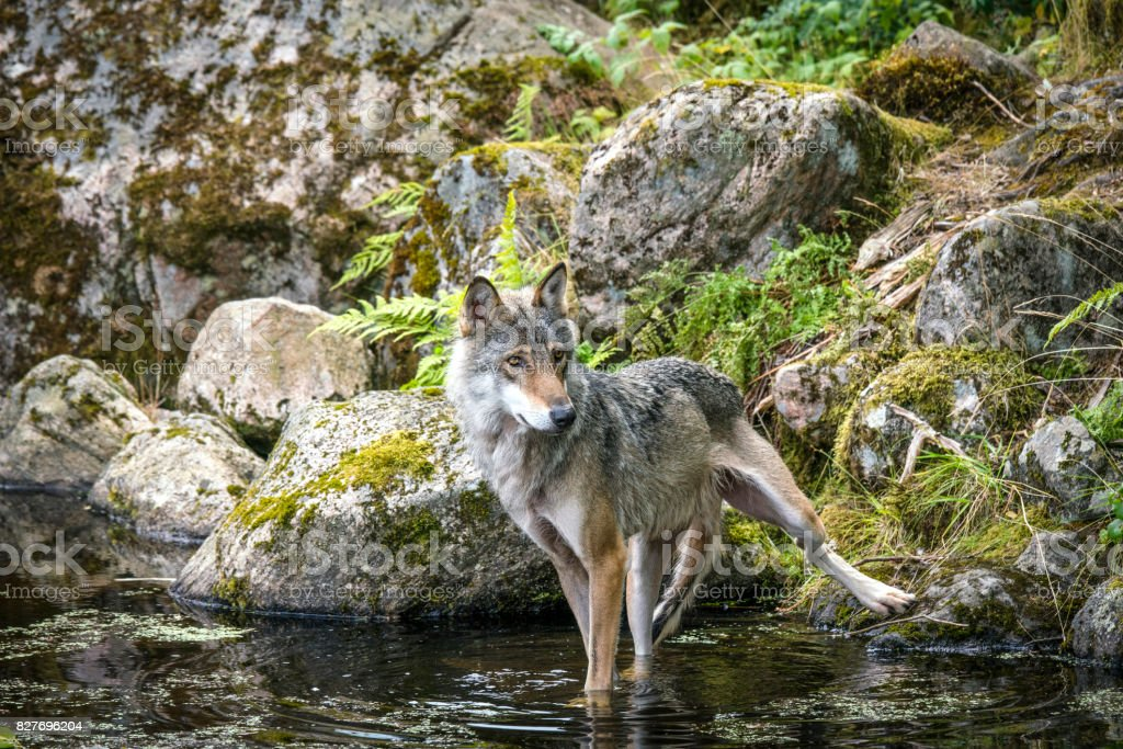 Grey wolf in a river with rocks stock photo