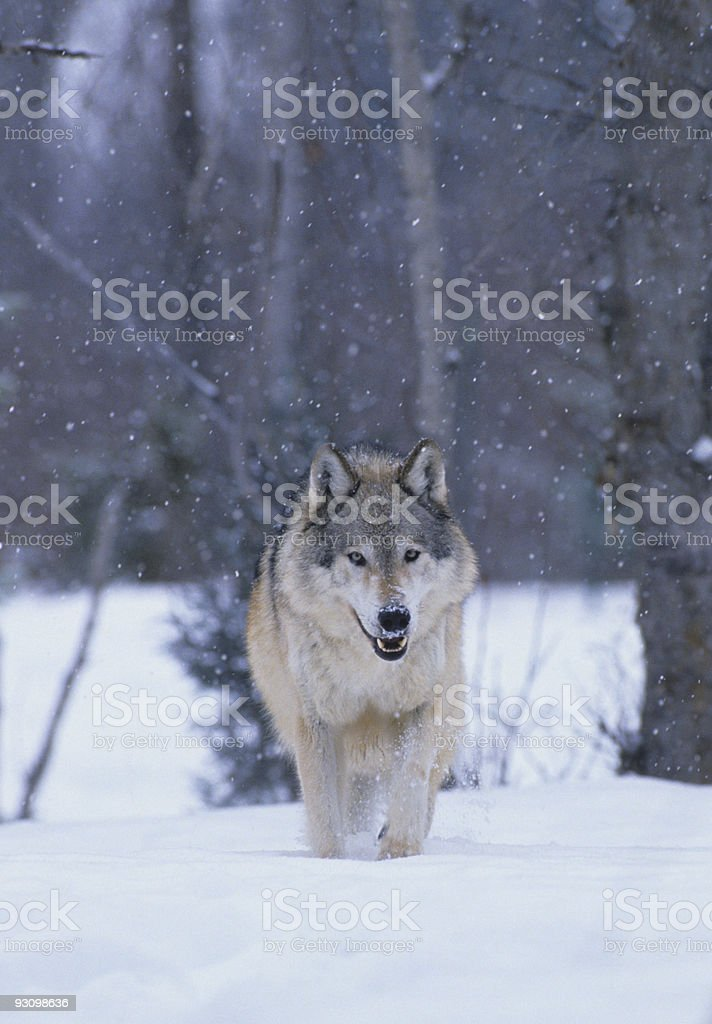 Grey Wolf in Snowstorm royalty-free stock photo