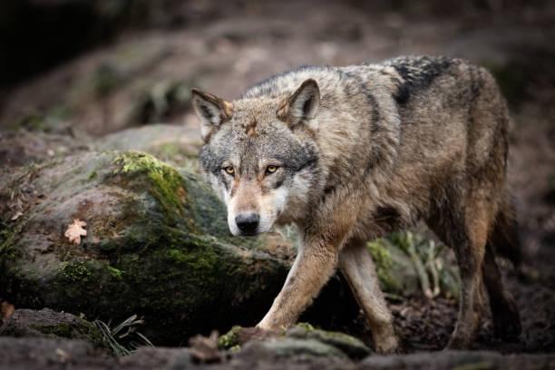 Grå varg i skogen bildbanksfoto