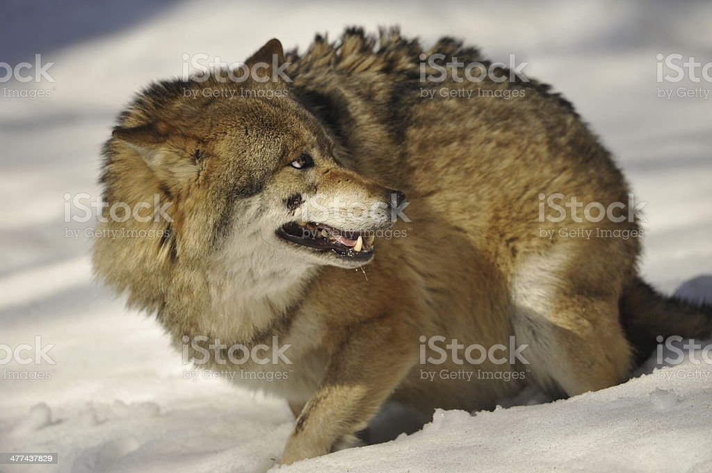 Grey wolf isolated in the snow while looking after royalty-free stock photo