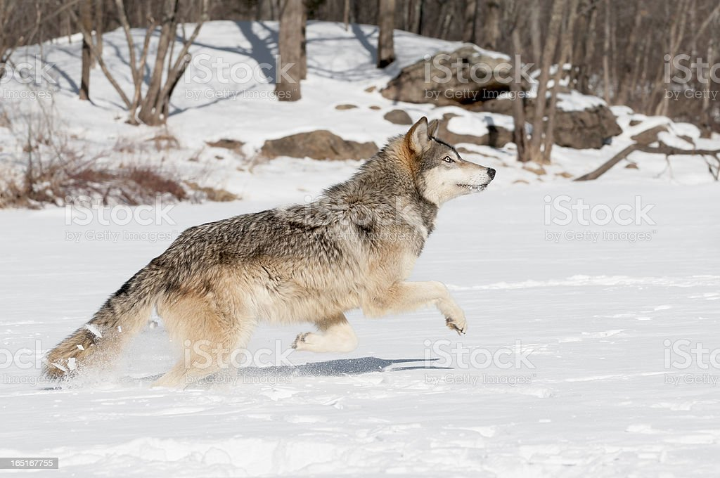 Grey Wolf (Canis lupus) Leaps stock photo
