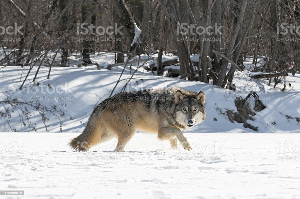 Grey Wolf (Canis lupus) Moves Right Along Snowy Riverbed stock photo