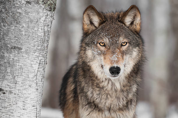 grey wolf (canis lupus) next to birch tree - wolf bildbanksfoton och bilder